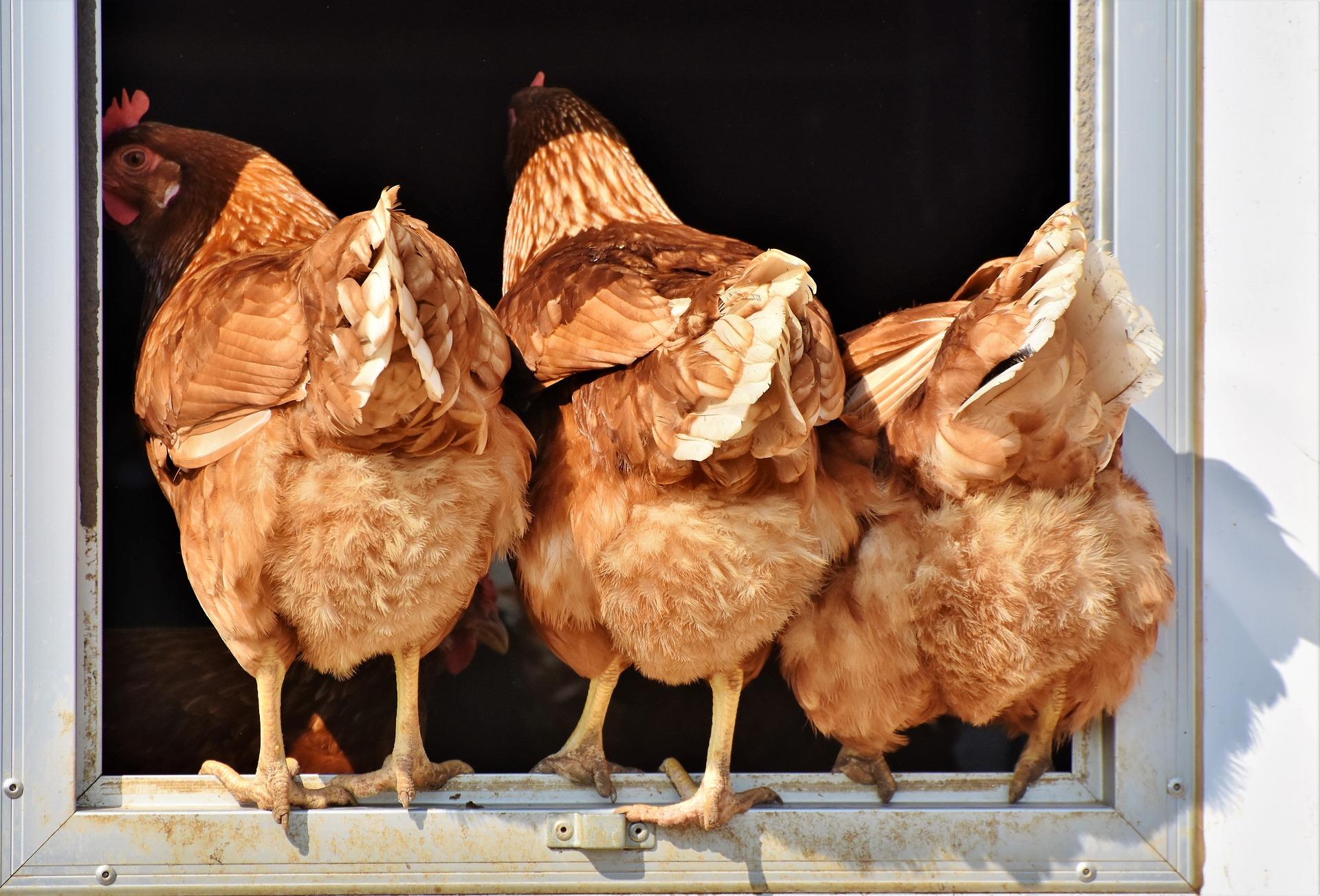 hühner pixabay